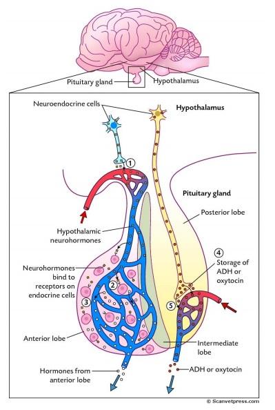 hormones2